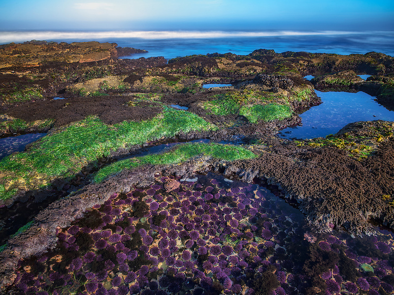 Purple Sea Urchins at minus tide and ocean. Devils Punchbowl State Natural Area, Oregon