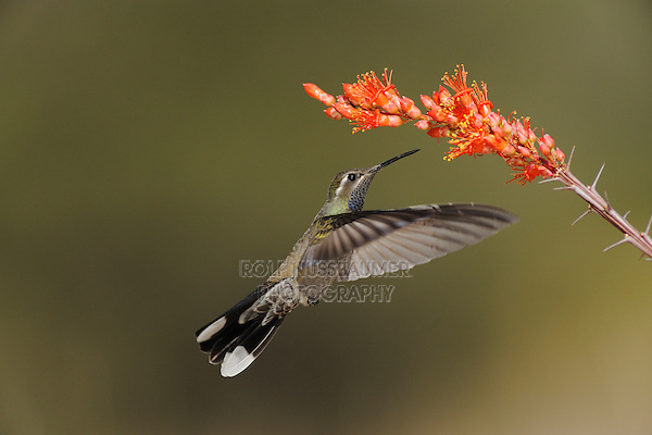 Blue-throated Hummingbird (Lampornis clemenciae), male feeding on blooming Ocotillo (Fouquieria splendens), Chisos Basin, Chisos Mountains, Big Bend National Park, Chihuahuan Desert, West Texas, USA