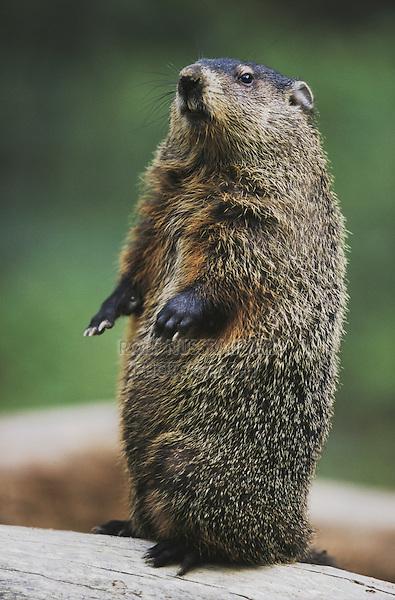 Groundhog, Woodchuck (Marmota monax), adult standing upright, Raleigh, Wake County, North Carolina, USA