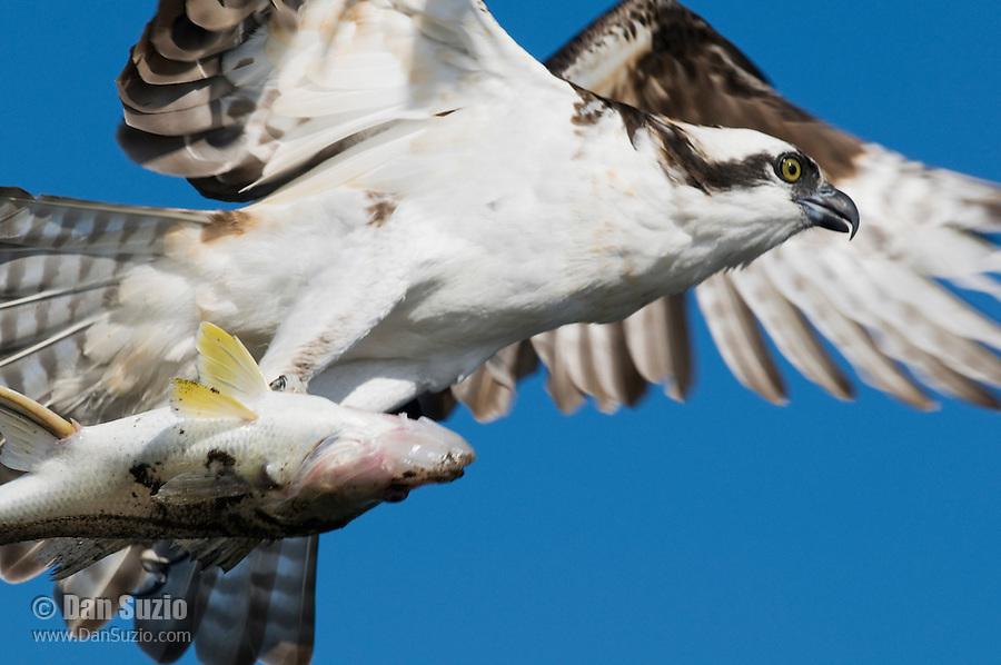 Osprey, Pandion haliaetus, with fish. Tarcoles River, Costa Rica