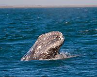 gray whale, or grey whale, Eschrichtius robustus, San Ignacio Lagoon, Baja California, Mexico, Pacific Ocean