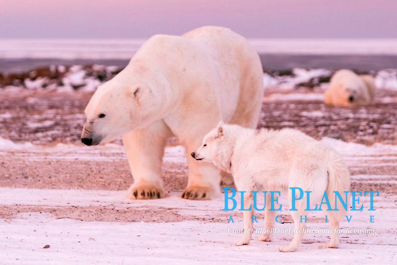 Adult male Polar Bear, Ursus maritimus, with Canadian Eskimo sled dog on frozen taiga near Churchill, northern Manitoba, Hudson Bay, Canada, polar bear, Ursus maritimus