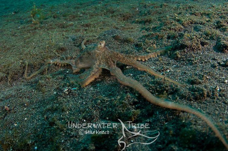 Longarm octopus reaching to the camera, Abdopus sp., or Octopus sp., Lembeh Strait, Manado, North Sulawesi, Indonesia, Pacific Ocean