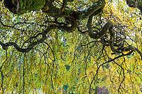 France, Allier (03), Villeneuve-sur-Allier, Arboretum de Balaine en automne, sophora du Japon pleureur , Sophora japonica 'Pendula'