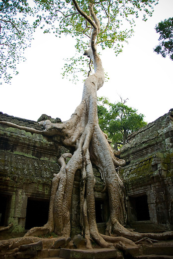 Ta Prohm was built in1186 as a Buddhist temple dedicated to the mother of the Khemer King Jayavarman VII and was originally known as Rajavihara (Monastery of the King). The temple shows off the wealth of Jayavarman VII and shows how powerful the monastery used to be. Ta Prohm also known as the 'Jungle Temple'  was one of the few temples chosen by the French restoration team to be left in its 'natural state' as an example of how most of Angkor looked when it was discovered in the 19th century.