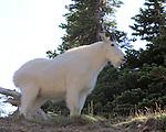 Montana Mountain Goats