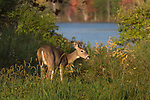 White-tailed doe feeding near the shore of a wilderness lake.