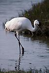 Whooping crane walking through water in Aransas National Wildlife Refuge, Texas