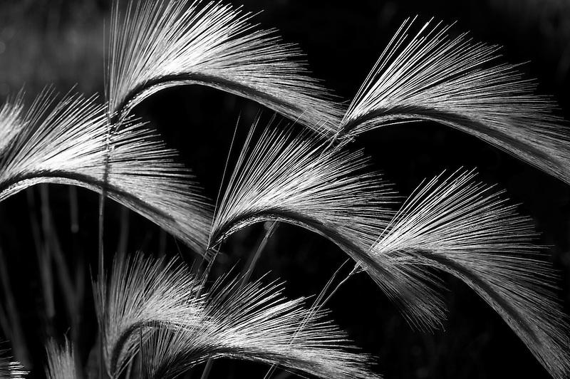 Backlit foxtail grass. Summer Lake State Wildlife Refuge. Oregon