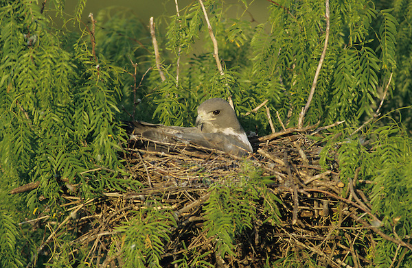 adult incubating eggs in nest in Mesquite tree, Welder Wildlife Refuge, Sinton, Texas, USA, April 2005