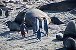 King Penguins, Gentoo Penguins and Fur Seals (one king penguin is severely injured)