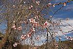 Israel, Jerusalem Mountains. Almond tree in Ein Kobi