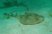 Eastern Fiddler Ray, Trygonorrhina sp., Murrays Beach, Jervis Bay, New South Wales, Australia, South Pacific Ocean