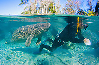 Florida Manatee (Trichechus manatus latirostris) Researcher Robert Bonde takes a field survey on Manatee populations at the Three Sisters sanctuary located in Crystal River,Florida.