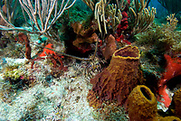 Caribbean spiny lobster, Panulirus Argus, Caribbean spiny lobsters may reach up to 60cm but are typically around 20cm, and have no pincers, Jolly Harbour, Antigua