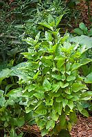 Ocimum basil columnar herb, Upright Greek Columnar Basil, Ocimum x citriodora