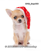 Xavier, CHRISTMAS ANIMALS, WEIHNACHTEN TIERE, NAVIDAD ANIMALES, photos+++++,SPCHDOGS922,#XA# dogs santas cap