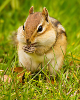 Eastern Chipmunk (Tamias striatus).  Great Lakes Region.  May.  Shows cheek pouches.