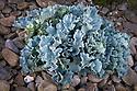 Sea Kale {Cramba maritima} growing on rocky granite shoreline. Tregastel, Cotes d'Armor, Brittany, France.