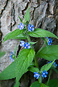 Green alkanet (Pentaglottis sempervirens) growing at the foot of a horse chestnut tree, end April.
