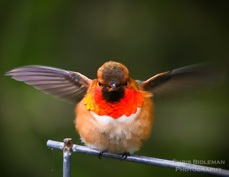 Gift card photo (set of 4) of male Rufous Hummingbird is showing off its mating colors during Spring