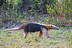 Southern Tamandua (Tamandua tetradactyla) (also called the Collared Anteater or Lesser Anteater). Northern Pantanal, Mato Grosso State, Brazil.