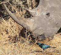 This starling was hoping the rhino would kick up some bugs for it to feast on.