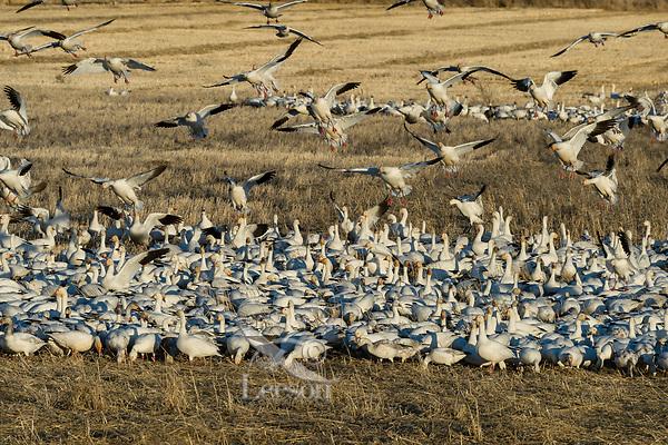 Snow Geese (Chen caerulescens) feeding/landing in field, Lower Klamath NWR, Oregon/California.  Feb-March.