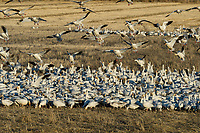 Snow Geese (Chen caerulescens) feeding/landing in field, Lower Klamath NWR, Oregon/California.  Feb-March.