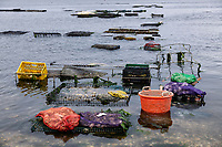 Fresh oyster harvest, Wellfleet, Cape Cod, Massachusetts, USA.