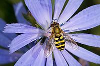 Garten-Schwebfliege, Gartenschwebfliege, Gemeine Schwebfliege, Weibchen, Blütenbesuch auf Wegwarte, Syrphus spec., hoverfly, female