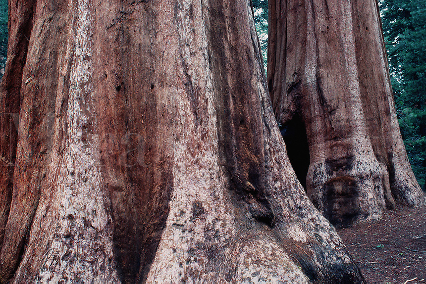 Detail of the base of Sequoia trees (Sequoiadendron giganteum.). Sequoia National Park, California.