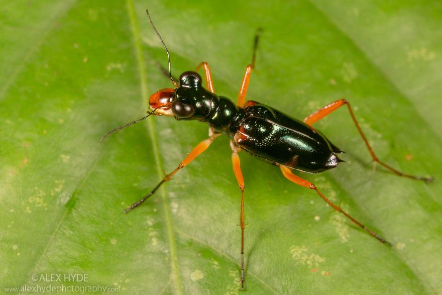Tiger Beetle (Cylindera sp.), Danum Valley, Sabah, Borneo. June.