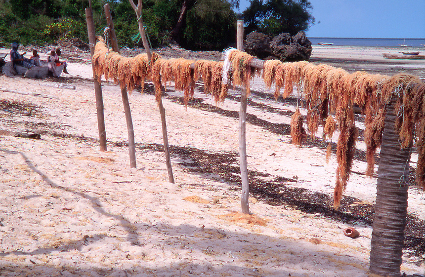 Tanzania Zanzibar Drying seaweeds in the fishing village of Uroa