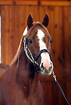 17 January 2010.   Kentucky Stallion Farms.  Stormello being shown at Vinery in Lexington, KY.