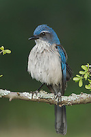 Western Scrub-Jay,  Aphelocoma californica, adult perched, Uvalde County, Hill Country, Texas, USA