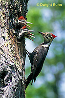 1P01-006z   Pileated Woodpecker - feeding young - Dryocopus pileatus or Hylatomus pileatus