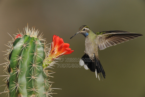 Blue-throated Hummingbird (Lampornis clemenciae), male feeding on blooming Claret Cup Cactus (Echinocereus triglochidiatus), Chisos Basin, Chisos Mountains, Big Bend National Park, Chihuahuan Desert, West Texas, USA