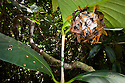 Paper wasps {Polistes sp} on nest suspended from leaf, wide angle view showing rainforest habitat. Masoala Peninsula National Park, north east Madagascar.