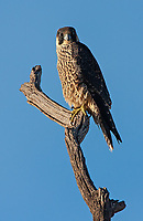 I've also seen Lanner Falcons in the Ngorongoro Crater, but I believe this is a young Peregrine.