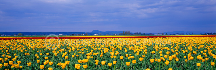 Tulip Fields in Town of La Conner,