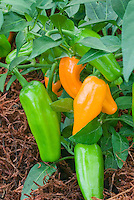 Capsicum 'Burning Bush' Habanaro chile chilie peppers growing with stages of ripeness from green to orange color
