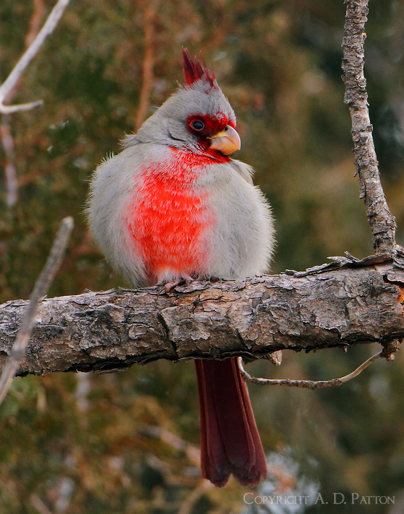 Adult male pyrrhuloxia trying to keep warm in January, it was 23 degrees F.