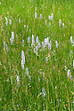 Common spotted orchids (Dactylorhiza fuchsii) and Common sorrel (Rumex acetosa) in a damp meadow on High Wealden clay soil, late June.