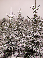 Evergreen trees<br />