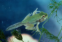 Europäischer Laubfrosch, ganz junger Frosch direkt nach der Metamorphose, noch mit Kaulquappen-Schwanz, Laub-Frosch, Frosch, Hyla arborea, European treefrog, common treefrog, Central European treefrog