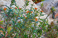 Asclepias tuberosa, Butterfly weed; resilient, drought tolerant summer-dry perennial in garden at Palm Springs Art Museum in Palm Desert, California
