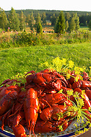 Big heap of traditional Swedish crayfish and dill on a plate against a nature background. Smaland region. Sweden, Europe.