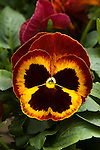 VIOLA WITTROCKIANA 'MAMMOTH ON FIRE', PANSY