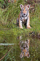 Young tiger sitting by a pond with his reflection - C1